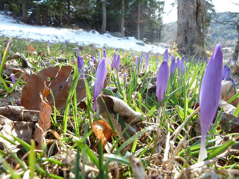 crocus shoots, early spring, I think/ via Wikimedia Commons